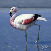 Chile Flamingo2